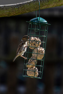 Sparrow feeding on fat balls