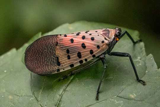A spotted lanternfly on a leaf in a natural surrounding