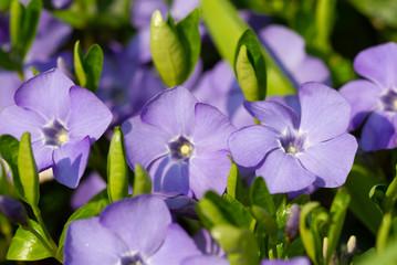 Wall Mural - Violet spring flowers periwinkle