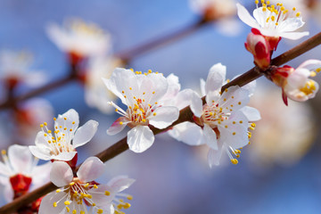 Wall Mural - Branch of blooming cherry flowers