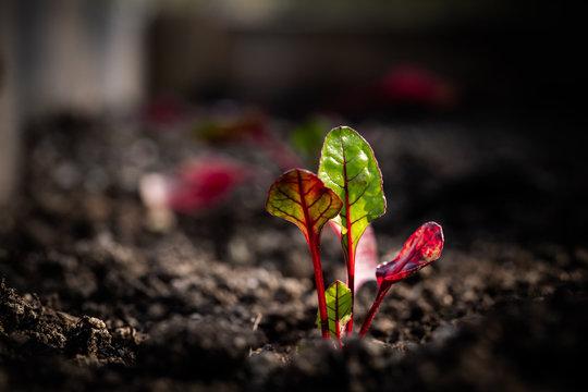 lettuce & gardening