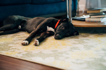 Dog relaxing laying on living room floor