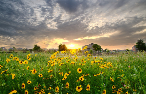 The sun sets over a field of sunflowers in beautiful Frisco, Texas