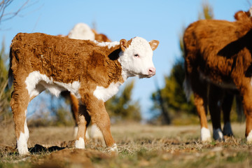 Wall Mural - Cute baby farm animal shows Hereford calf with cows on sunny day in pasture.