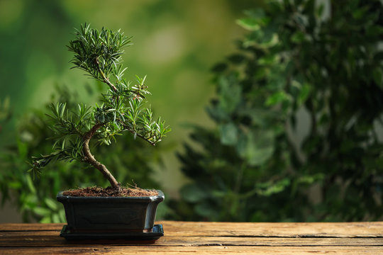 Japanese bonsai plant on wooden table, space for text. Creating zen atmosphere at home