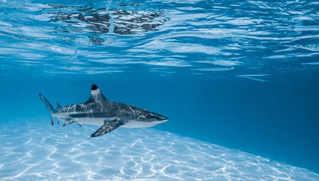 Black tip shark swimming in Moorea's lagoon