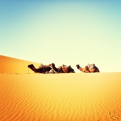 Side View Of Camels Relaxing At Desert