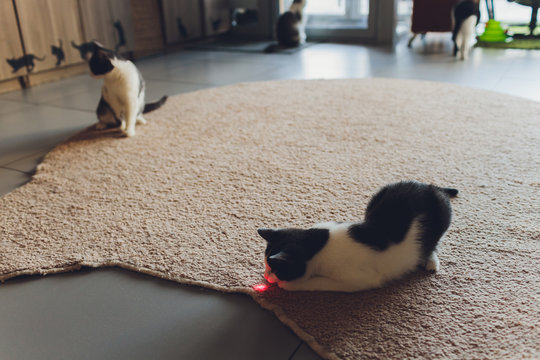 Young kitten is playing with laser pointer image.