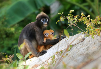 Photo sur Plexiglas Singe Yellow twins baby of Leaf Monkeys or Dusky Langur and mother who are living in the forest, Animals with their babies