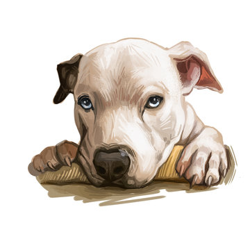 Catahoula Bulldog dog isolated hand drawn portrait. Digital art illustration of Catahoula Leopard Dog or Catahoula Cur, American dog breed. Louisiana Catahoula Leopard Dog usa popular pet.