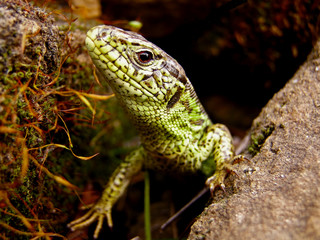 Garden Poster Chameleon jaszczurka zwinka z ukrycia