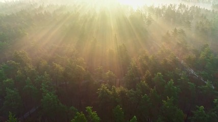 Wall Mural - The morning rays of the sun break through the trees in a pine forest. Flying over the forest, forest in the morning fog. Aerial view