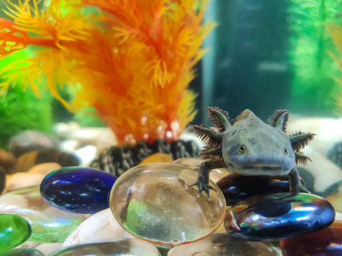 The dark green, black young Axolotl (Ambystoma mexicanum) sits in an aquarium on large smooth shiny glass stones, blue, blue and transparent, with an artificial orange plant behind.