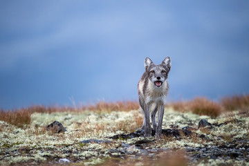 Arctic fox in Dovre mountains national park, Norway