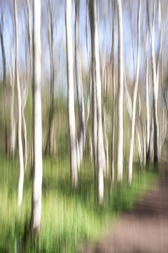 An abstract approach to a birch forest through a vertical panning