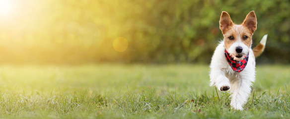 Playful happy smiling funny cute pet dog puppy walking in the grass, happiness, summer concept. Web banner, copy space.