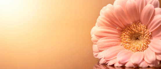 Mothers day card, banner, background, soft pastel pink gerbera daisy flower. Copy space. Fototapete