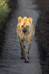 Spotted hyena walks down track towards camera