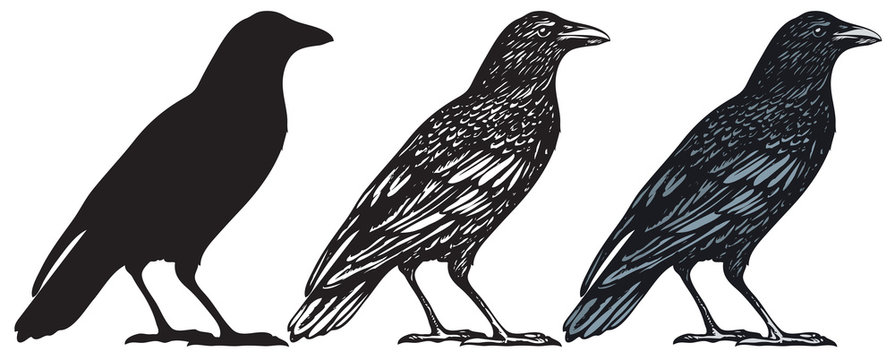 Set of three hand-drawn black birds isolated on white background. Raven, crow, rook or jackdaw. Vector illustration in retro style.