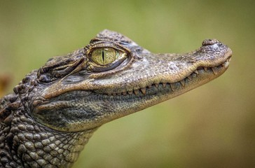 close up of crocodile head