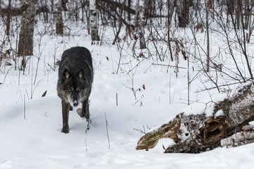 Fototapete - Black Phase Grey Wolf (Canis lupus) Stalks Forward From Forest Winter