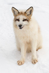 Fototapete - Red Marble Fox (Vulpes vulpes) Sits Looking Out in Snow Winter