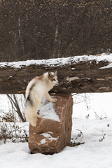 Fototapete - Red Marble Fox (Vulpes vulpes) Climbs Up Rock to Log Winter