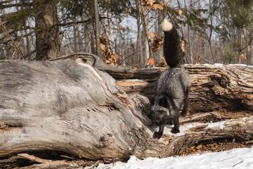 Wall Mural - Silver Fox (Vulpes vulpes) Climbs Down Off Log Winter