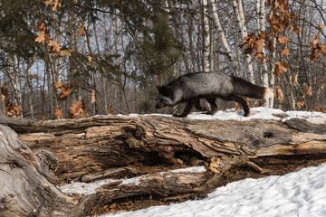 Wall Mural - Silver Fox (Vulpes vulpes) Trots Left Along Top of Log Winter