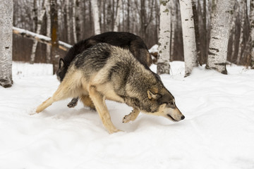 Fototapete - Grey Wolf (Canis lupus) Turns Second Wolf Sniffs Behind Winter