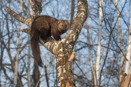 Fisher (Martes pennanti) Hunched Up in Tree Winter
