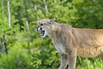 Photo sur Plexiglas Puma Cougar growling