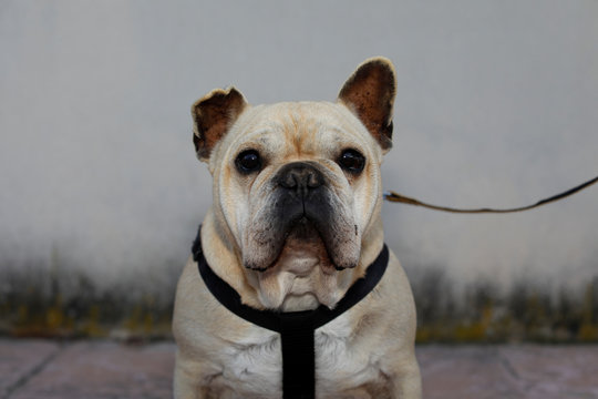 Dali, 9, a male French Bulldog dog, poses for a picture as he takes a walk with its owner during the lockdown amid the coronavirus disease (COVID-19) outbreak in Ronda