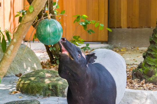 The Malayan tapir (Tapirus indicus) is taking food from the hanging ball sharp container. This is kind of enrichment activity in zoo