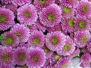 Pink chrysanthemums with green centers