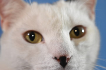 Gato blanco mirada Wall mural