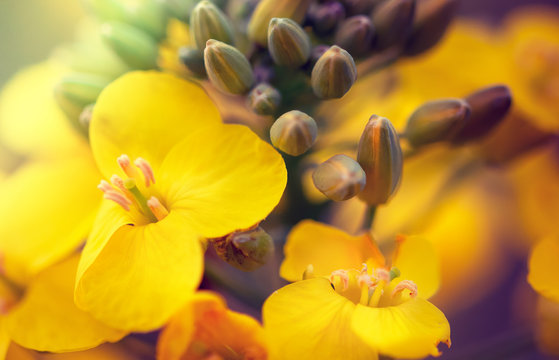 Closeup of flowering colza (rapeseed or canola) plant for green energy, oil industry and honey plant. Rape seed flower macro view on blurred background.