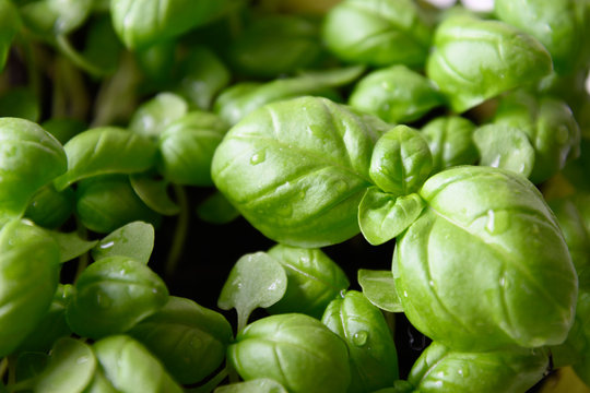 Sprouted basil seeds microgreens. Close up. Growing sprouts. Italian spices.
