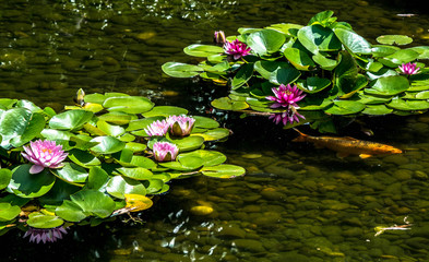 Wall Murals Water lilies High Angle View Of Water Lilies Blooming On Pond