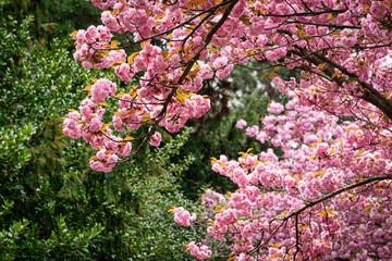 Fototapete - Kirschbaum in rosa Blüte