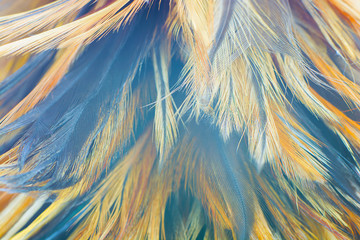 Wall Mural - Beautiful color chicken feather pattern texture background