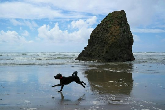 Black Labradoodle Running On Shore At Beach
