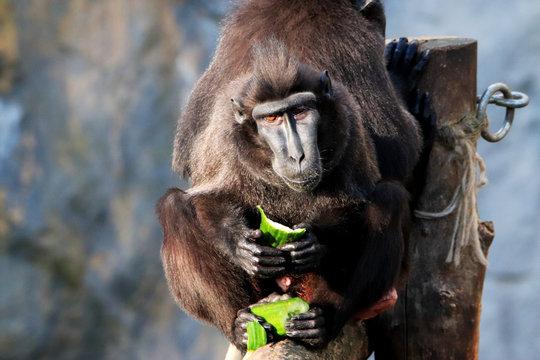 Macaque à crête