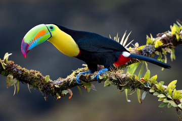 Photo sur cadre textile Toucan Keel-billed toucan (Ramphastos sulfuratus), closeup perched on a mossy branch in the rainforests, Boca Tapada, Laguna de Lagarto Lodge, Costa Rica