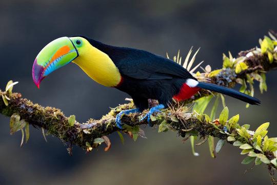 Keel-billed toucan (Ramphastos sulfuratus), closeup perched on a mossy branch in the rainforests, Boca Tapada, Laguna de Lagarto Lodge, Costa Rica