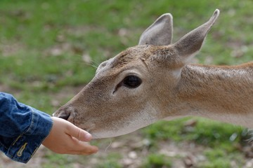 Cropped Hand Feeding Deer In Zoo