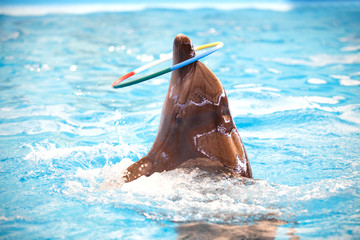 The dolphin show play with hula hoop