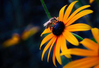 Obraz Pracowita pszczoła, bee on flower - fototapety do salonu