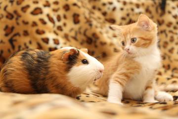 kitten and guinea pig Fotomurales