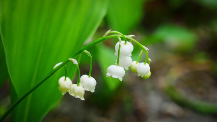 Foto auf Gartenposter Maiglöckchen A traditional flower for good luck. Lily of the valley blooming in spring, often on the first of May. Beautiful Convallaria Majalis